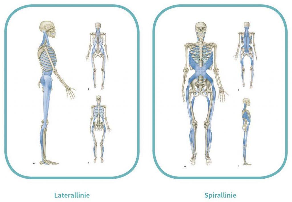 Oberflächliche myofasziale Leitbahnen - Lateral- und Spirallinie (Quelle: https://www.trainingsworld.com/sportmedizin/flossing-in-therapie-und-training-6512622)